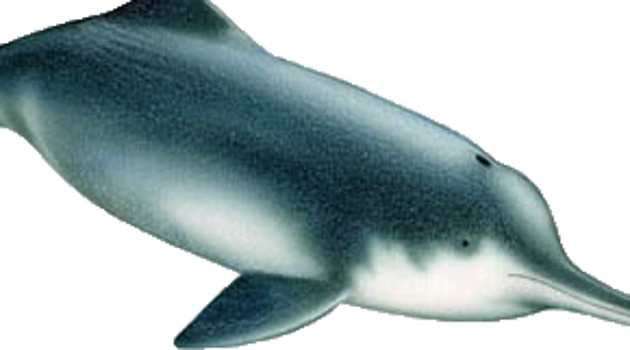 Китайский речной дельфин Китайский речной дельфин долгое время плавал в водах реки Янцзы. Но десять лет назад его объявили исчезнувшим. Однако в конце прошлого года нашлись очевидцы, которые утверждают, что встречали этого обитателя подводного мира. Если какие-то особи живы, будут предприняты все меры по восстановлению популяции.