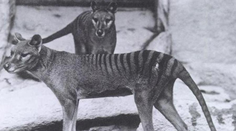 Тилацин Тилацин, или тасманский тигр, единственное сумчатое в списке. Удивительное животное обитало в Австралии, Тасмании и Новой Гвинее вплоть до 1960-х годов. Возможно, возродить это животное помогут родичи —тасманские дьяволы, которые являются носителями некоторых его ДНК.