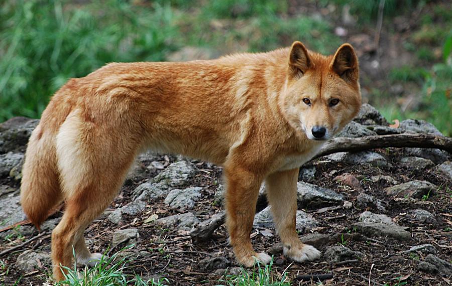 Внешние отличия Со стороны динго трудно отличить от хорошо сложенной обычной собаки. Они достаточно высоки и достигают в холке 67 сантиметров, морды динго квадратные, а мех очень густой, рыжеватого окраса. Настоящие динго просто не умеют лаять, зато рычат и воют как заправские волки.