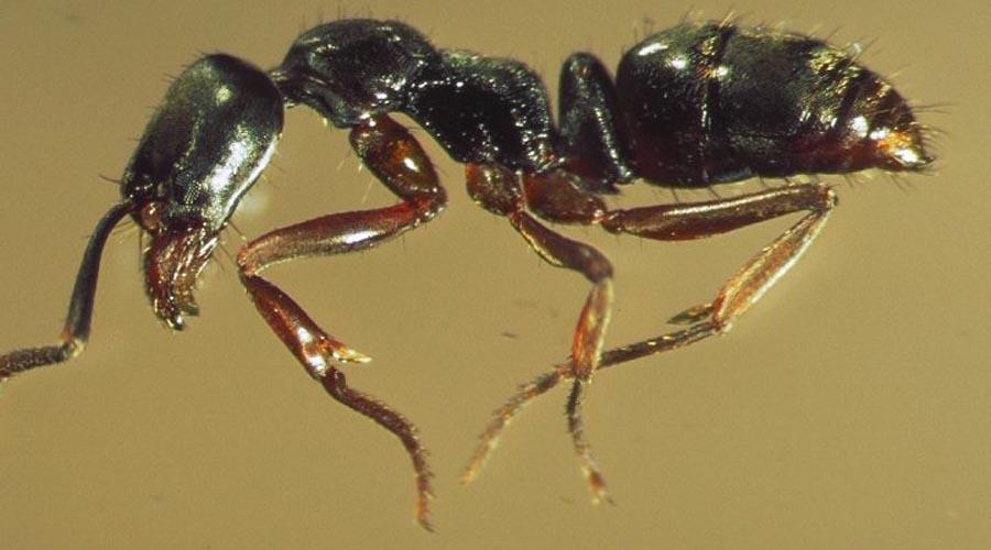 Муравьи-иглы Pachycondyla Chinensis Существуют две разновидности Pachycondyla Chinensis: аргентинские и азиатские. В настоящий момент азиатские ведут крупное наступление на земли своих аргентинских сородичей — в скором времени останется лишь один подвид.