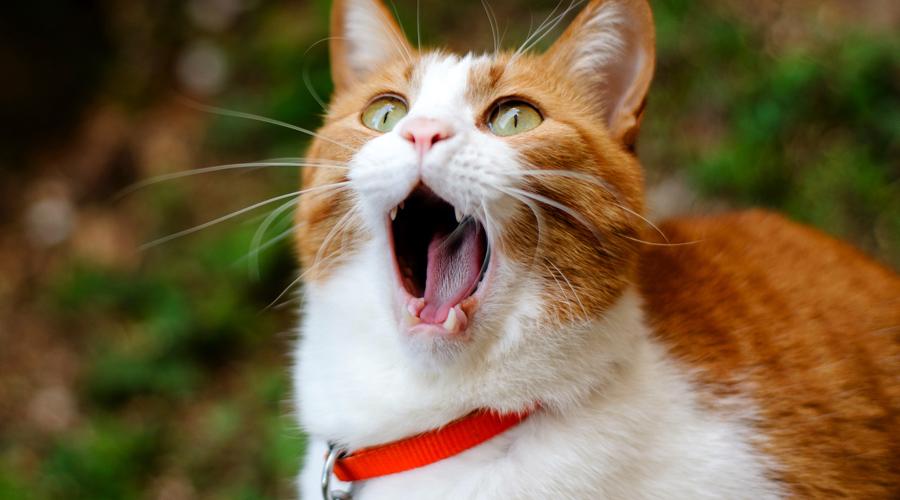 Вомероназальный органВидели, как котики пялятся в пространство с открытой пастью? Они вовсе не удивляются увиденному — вомероназальный орган находится у животных в небе, и он дает им возможность улавливать феромоны. У человека же тот же орган практически не развит.