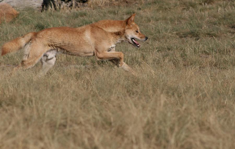 Волчий сын Большинство специалистов считает собаку динго прямым потомком индийского волка — родословной динго мог бы позавидовать любой викинг. Сейчас индийский волк водится только на полуострове Индостан, однако в середине прошлого века был найден и еще один возможный родственник динго: новогвинейская поющая собака. Встретить ее можно, как следует из названия, только в лесах Новой Гвинеи.