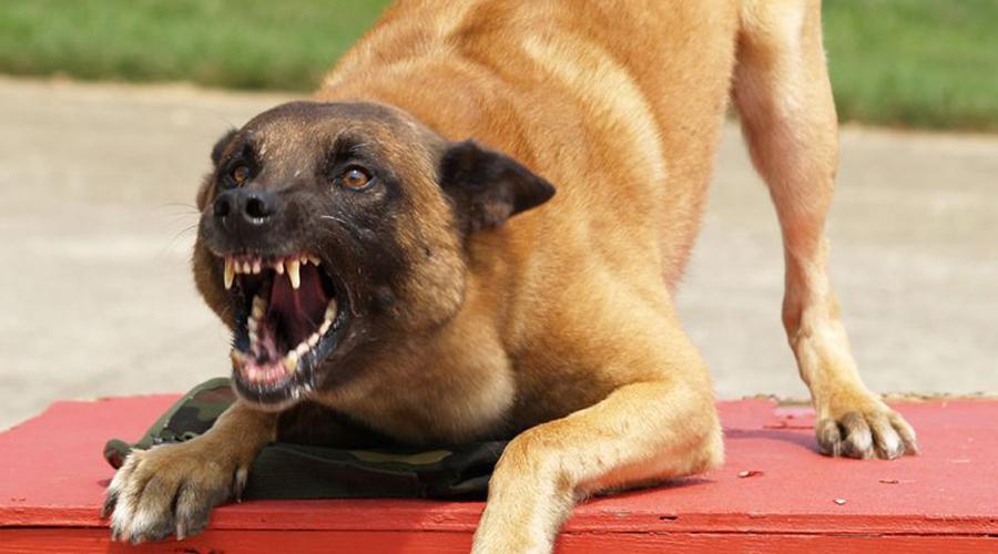Собака лает, караван идет Если собака решила напасть, то никакого лая вы не услышите. Максимум — приглушенный рык. Гавкающий пес старается прогнать чужака со своей территории. Не поворачивайтесь к охраннику спиной и даже боком: так пес решит, что действительно сумел вас напугать и поспешит закрепить успех зубами.