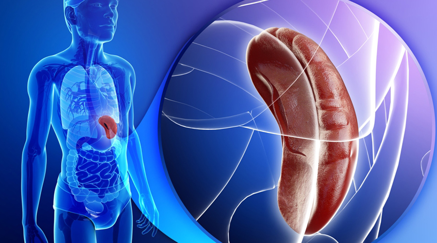 СелезенкаСовременная медицина до сих пор не может выяснить точные функции селезенки. Известно лишь, что именно этот орган производит лимфоциты и антитела, разрушает старые эритроциты и является своеобразным депо для крови, высвобождаемой при физических нагрузках.