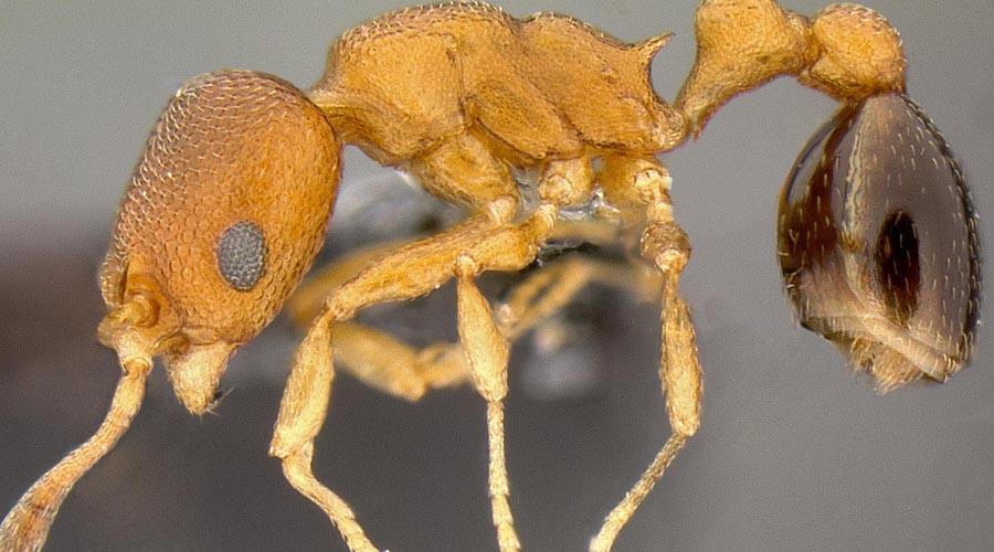 Муравьи-гангстеры Cardiocondyla obscurior В колонии гангстеров может быть только один дон. Вернее, один самец — если конкурент придет извне, местный альфа выпустит специальные феромоны, приманивающие рабочих. Те убивают незваного гостя. Кроме того, альфа-самец тщательно следит, чтобы няньки убивали новорожденных муравьев мужского пола. Вот только уже на второй день панцирь у них становится крепок и соперники вступают в схватку. Оба выбрасывают в воздух одни и те же феромоны, провоцируя нападение рабочих особей. В половине случаев рабочие не разобравшись убивают обоих претендентов на трон.
