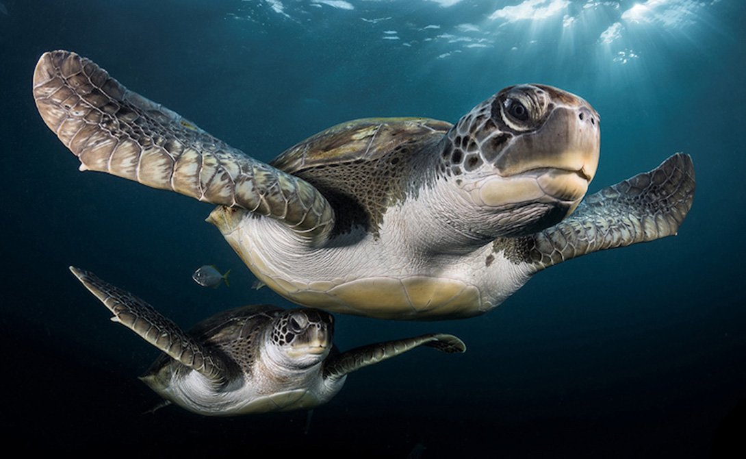 Зеленые черепахи Номинация: ПортретАвтор: Грег Лекур Во время дайвинга на Тенерифе Грег столкнулся с парой этих черепах. Ранним утром солнечные лучи пронзали толщу воды, что позволило фотографу сделать завораживающий снимок.