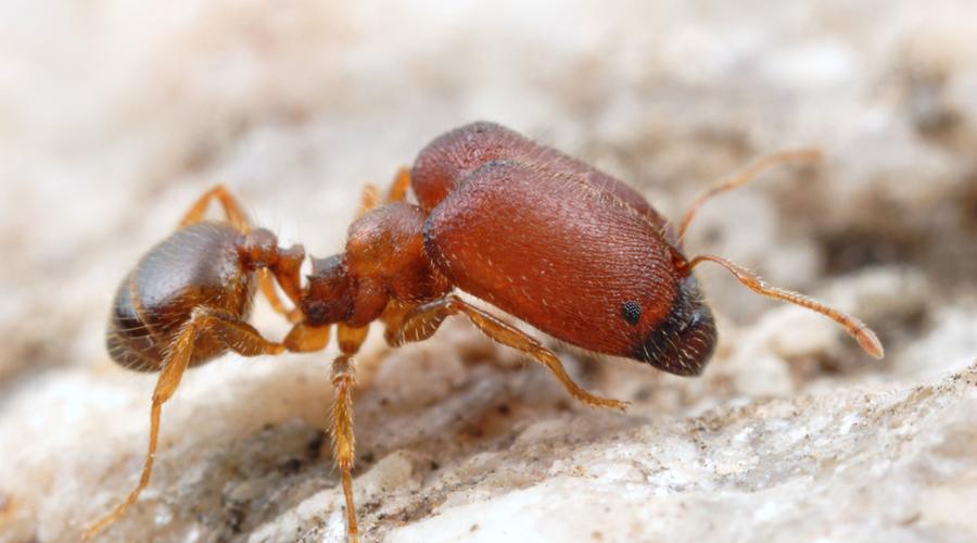 Муравьи-воины Pheidole Большеголовые муравьи названы так потому, что одна из каст имеет существенно большие головы, чем две другие. Тут есть обычные рабочие, чуть более крупные солдаты и действительно огромные супервоины, голова которых в три раза больше, чем у обычных солдат.