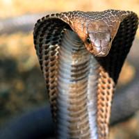 Огромная кобра приползла в деревню. что произошло дальше удивило всех