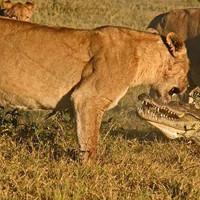 Чудовищная схватка львиц и крокодила попала на камеру