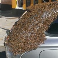 Огромный рой пчел два дня преследовал машину несчастной женщины