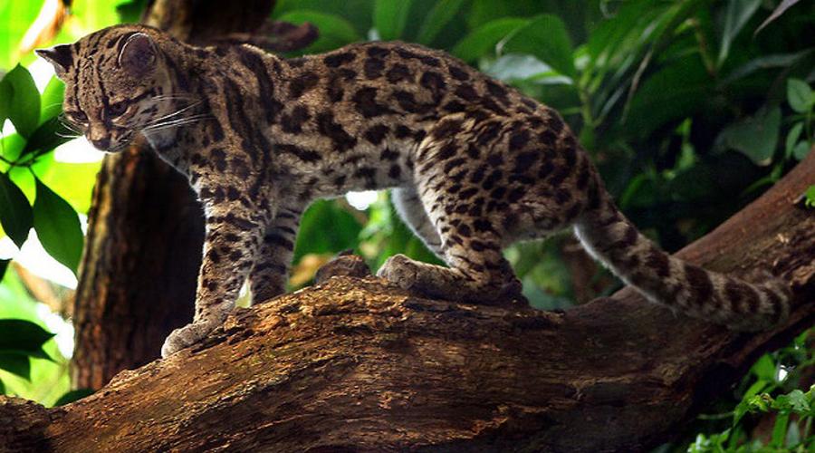 Маргай Длиннохвостая кошка выбрала ареалом обитания влажные и густые леса Южной Америки. Всю свою жизнь маргай проводит на дереве: это один из лучших древолазов мира. Лодыжка длиннохвостой кошки может поворачиваться на 180 градусов, что дает животному возможность перемещаться по стволу вниз головой. К сожалению, такими фокусами браконьеров не проймешь — шкура маргая баснословно дорога.