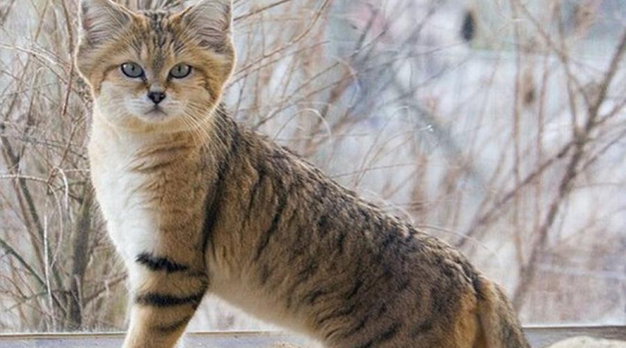 Барханный кот Чтобы встретить этого редкого зверя, придется отправиться прямо в пустыню. Барханные коты предпочитают жару и засуху, охотятся только по ночам и считаются лучшим (читай — очень дорогим) подарком девушке на 8 марта. Приверженность скрытному образу жизни мешает ученым исследовать барханных кошек как следует. С другой стороны, эта же скрытность помогает зверям избегать браконьеров.