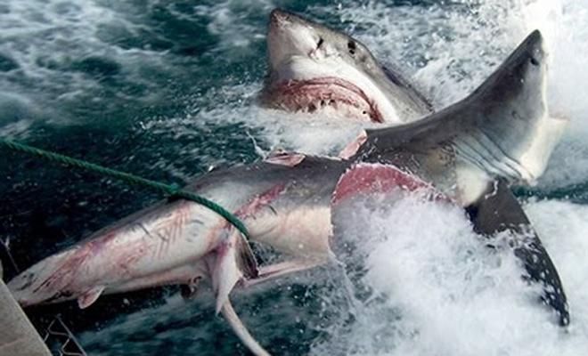 Огромная тварь перекусила белую акулу пополам. Кто это мог быть? На пляж больше ни ногой! (3 фото + видео)