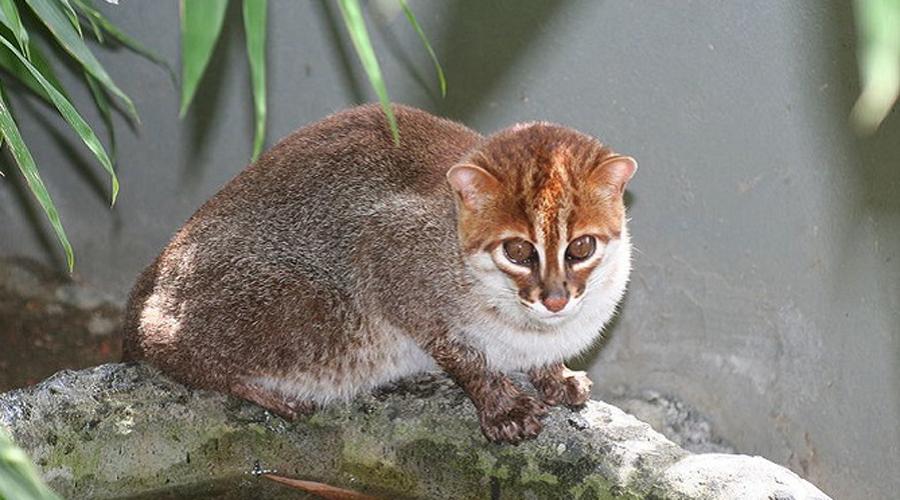 Суматранская кошка Эти кошки больше похожи на персонажей из аниме: большие раскосые глаза, короткие лапы и хвост — странно, что создатели покемонов не использовали суматранскую кошку в качестве персонажа. Вид редок настолько, что мы даже не знаем, сколько его представителей осталось в природе.