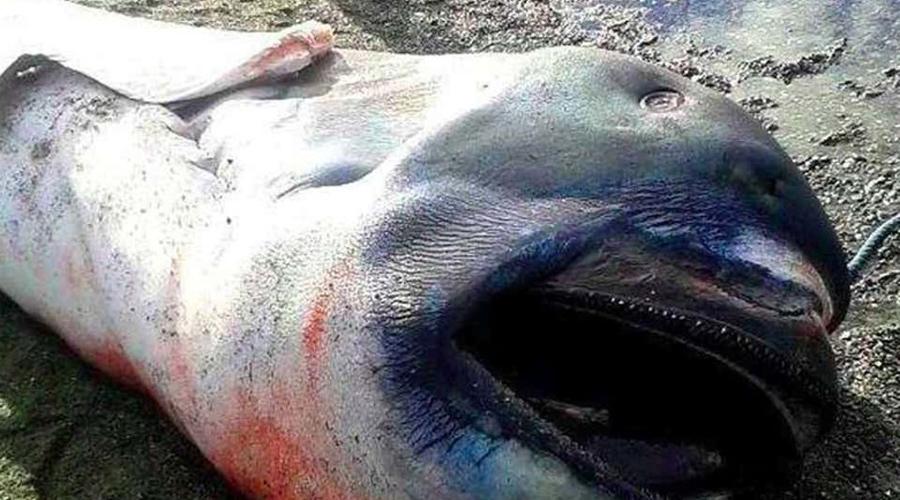 Глубоководная пасть Ну а это создание атаковало утлую лодчонку филиппинских рыбаков в декабре 2015 года. Пятиметровая рыбина с огромной пастью старалась перевернуть ялик, и кто знает, чем бы закончилось это противостояние, если бы один из рыбаков не прихватил с собой в море револьвер. Вопя от ужаса филиппинец пристрелил тварь, которую затем вытащили на берег.