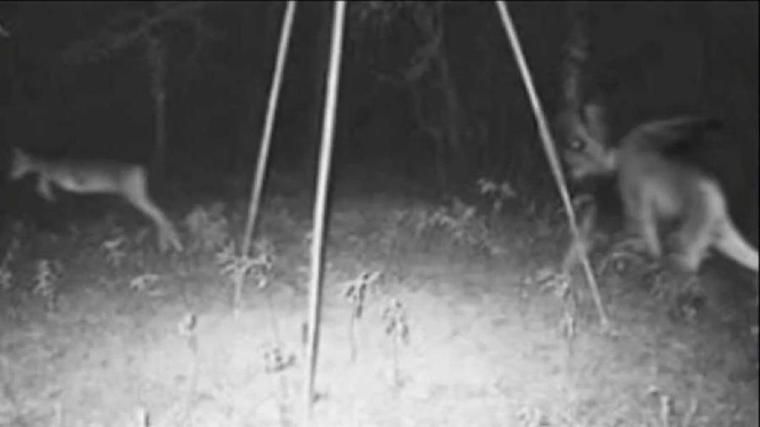 Охота А вот это действительно охота, и вряд ли олень сумел выйти победителем гонки. Животное-хищник выглядит просто ужасным, даже динамика его движений выглядит отталкивающе. Представьте себе встречу с такой тварью на сельском выгоне!