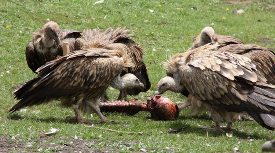 Небесное захоронение Тибетцы до сих пор практикуют так называемое небесное захоронение. Тела умерших сбрасываются со скалы в специально отведенном для того месте: сюда слетаются хищные птицы и обгладывают кости.