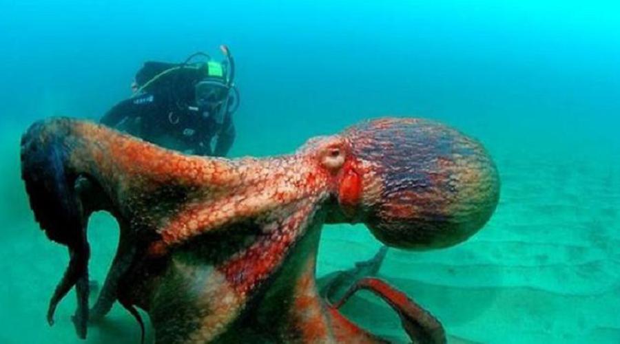 Биологи недавно выяснили, что ДНК осьминога не похожа на ДНК ни одного другого существа на Земле. Кто бы сомневался, честно говоря.
