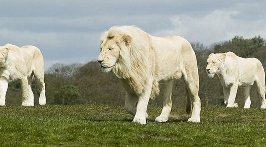 Белый лев Вообще-то, белый лев не является отдельным подвидом. Более светлую окраску шерсти вызывает генетическое заболевание, лейкизм. Эти красивые, исключительно величественные животные встречаются в природе чрезвычайно редко.