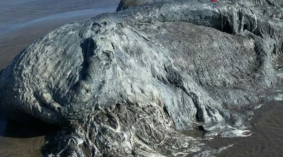 Глобстер В марте прошлого года на пляж Акапулько вынесло тварь, которую пресса тут же окрестила «глобстером». Оно не похоже вообще ни на что на свете, и даже морские биологи при виде глобстера смогли только развести руками. По самым смелым предположениям, глобстер — не что иное, как мутировавший кальмар. Но откуда у кальмара шерсть?