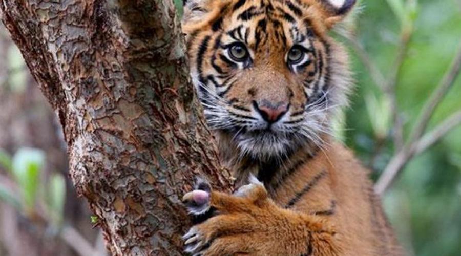 Суматранский тигр Суматранский тигр гораздо агрессивнее сородичей из прочих подвидов. Животное находится на грани уничтожения: популяция в 2016 году составила всего 300 особей.