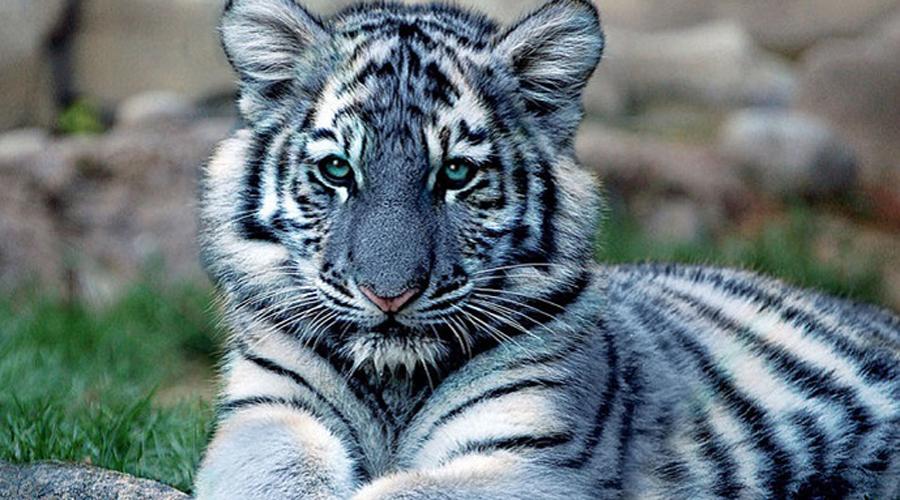 Мальтийский тигр Честно говоря, зверь настолько редок, что в научном сообществе даже сомневаются в его существовании. Человек встречал голубого тигра всего несколько раз за всю историю: считается, что животные водятся только у отрогов Гималайских гор.