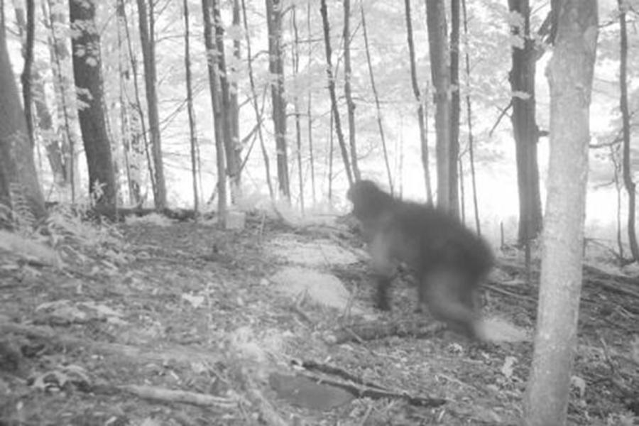 Бигфут Загадочное существо попало на камеру июньской ночью 2011 года. Зверь пробежал по лесу так быстро, что на фотографии остался лишь его размытый силуэт. Приглядитесь, он очень похож на снежного человека.