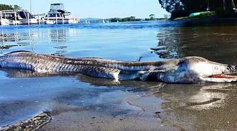 Зверь озера Маккуори В марте прошлого года добрые горожане Нового Южного Уэльса в полном составе высыпали на берег озера Маккуори. Один из рыбаков вытащил сетью странное создание, больше всего напоминавшее внебрачного ребенка крокодила и удава. Только подумайте, каким ужасным был внешний облик твари, если удивились даже австралийцы, где по улицам зачастую бродят пауки размером с орла.