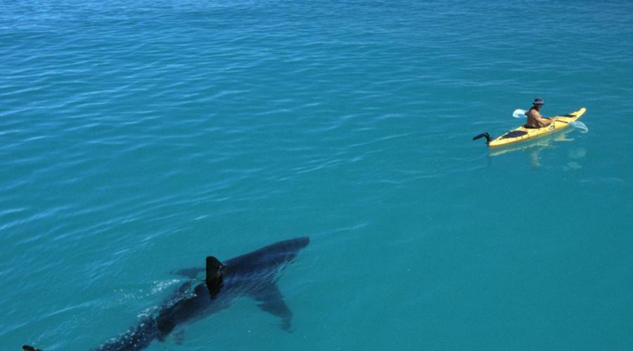 У берегов Австралии акулы чувствуют себя как за постоянным фуршетом. Странно, что люди вообще рискуют купаться на местных пляжах.