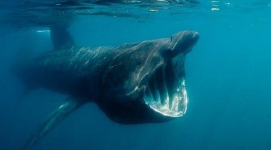 К счастью, китовые акулы питаются планктоном и потому человеку не опасны. Но выглядит жутко!
