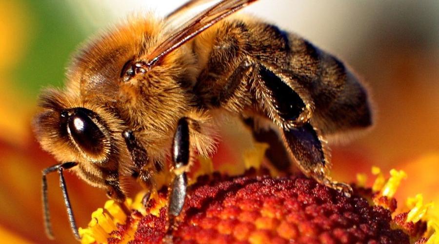 Пчелы Пчелы показывают удивительный для насекомых уровень социального взаимодействия. Эксперименты показали способность пчел обучаться, просто глядя на действия других пчел. Кроме того, каждое насекомое выполняет строго определенную социальную роль в улье, а еще они способны распознавать человеческие лица. Вот зачем пчеле такой навык?!