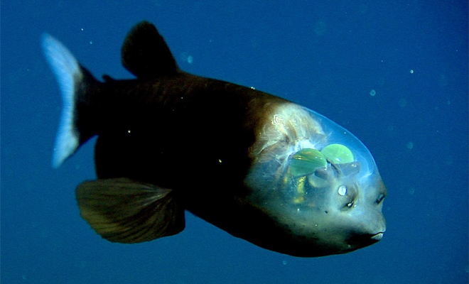 Эта рыба выглядит так, будто прилетела с другой планеты (2 фото + видео)