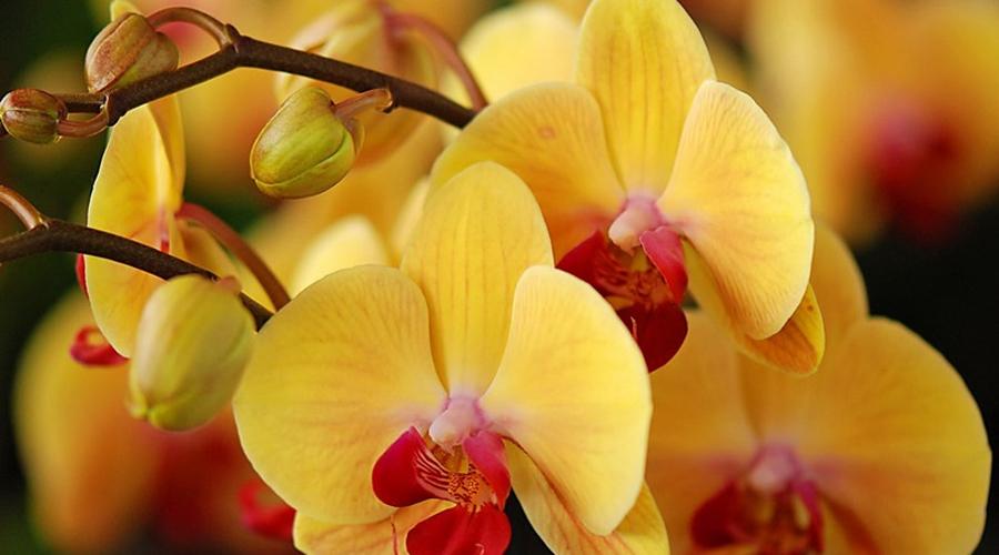 Орхидея Красавица-орхидея на самом деле сильный вампир, особенно негативно воздействующий на нерешительных хозяев. Избегайте иметь этот цветок дома.
