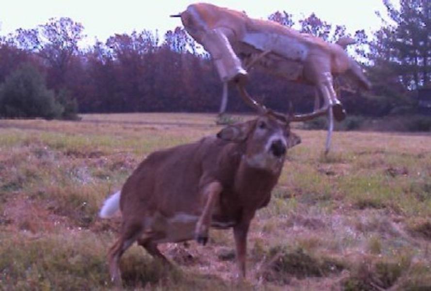 Сражение оленя с робо-оленем. Спорт будущего!