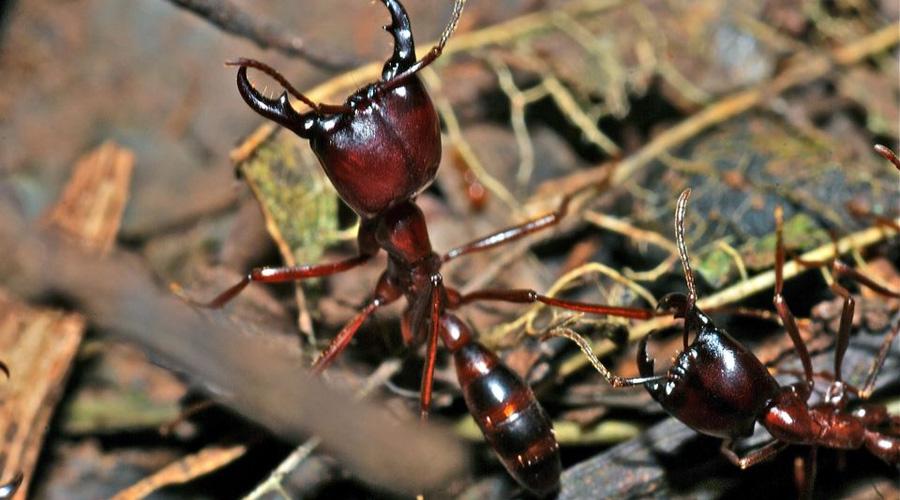 Муравьи Организация муравьев просто гениальна. Все занимаются своим делом, будто запрограммированные кем-то. Воины защищают гнездо, рабочие снабжают всех пищей, самцы нужны только для размножения — и королева, вокруг которой все вертится. Даже люди с их интеллектом за все время своего существование близко не смогли подойти к эффективному обществу такого рода.