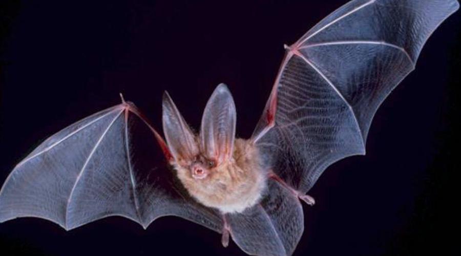 Летучие мыши Эволюция? Да как могла эволюция привести к развитию слепых животных с эхолокацией! Некоторые из самых крупных видов летучих мышей доживают до тридцати лет и формируют настоящие подобия общественной жизни. Они общаются между собой чуть ли не на философские темы!