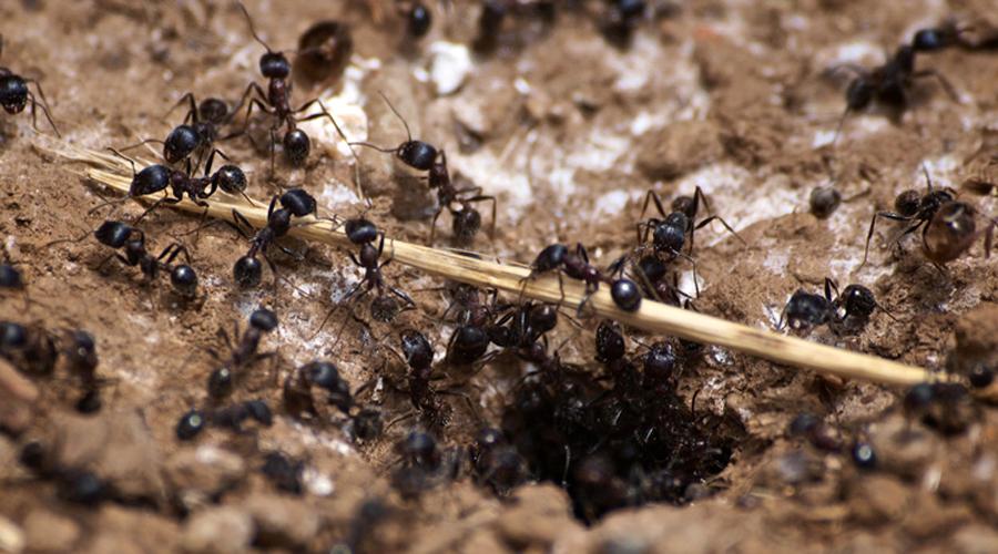 Борьба с насекомыми Муравьи отчего-то соль ненавидят. Попробуйте рассыпать соль у порога дверей, окон и там, где вы видели большие скопления муравьев. Три дня и проблемы как не бывало.