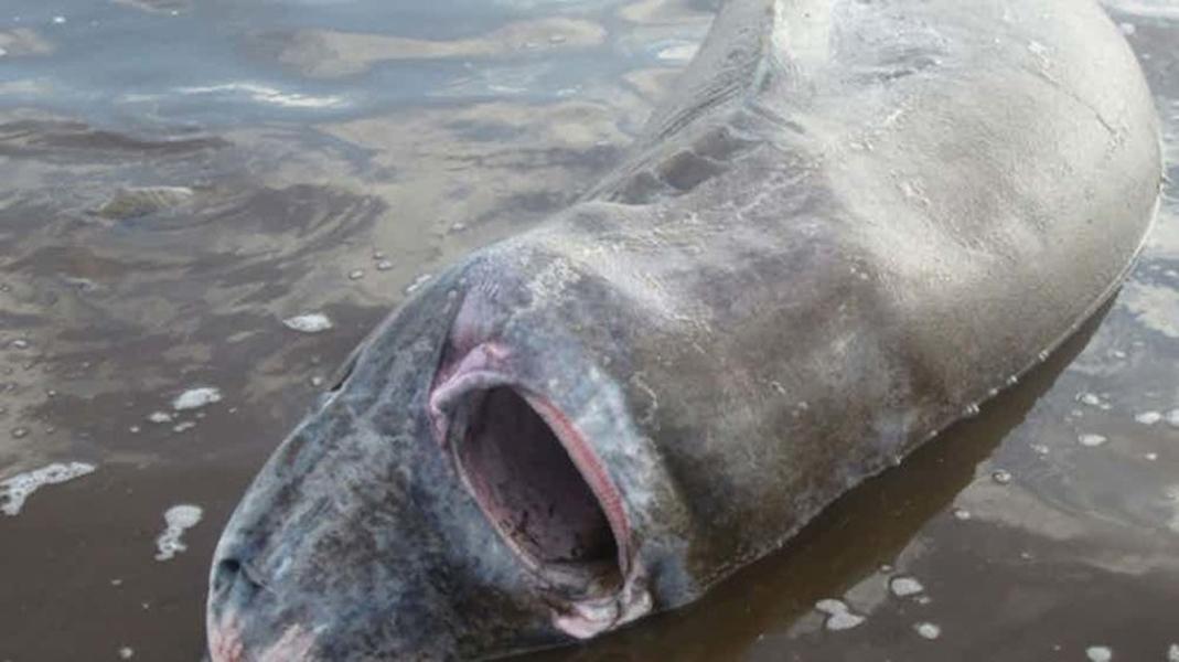 Белый медведь Канадские океанологи случайно поймали эту полярную акулу в 2011 году. Срок жизни полярной акулы достигает двух сотен лет, а питается она чем ни попадя. В желудке данной, к примеру, ученые нашли почти целого белого медведя.