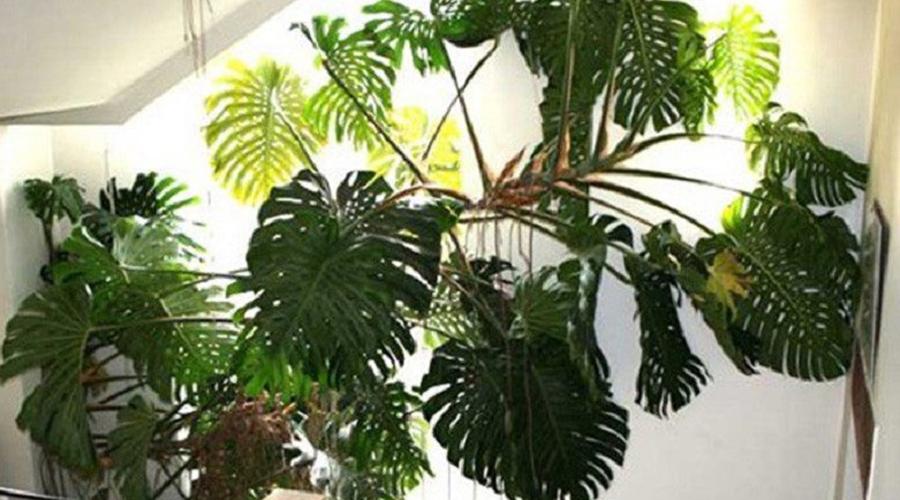 Монстера Само название растения как бы немного намекает о возможной опасности. Не знающие люди могут поставить монстеру в детскую комнату, а потом удивляться, отчего ребенок так часто болеет. Дело в то, что растение способно подпитываться от слабых.