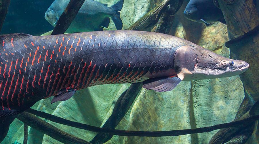 Бразильская арапаима Тропическая пресноводная рыбка, одна из самых крупных пресноводных в мире. Эта хищница питается не только рыбой, но и мелкими животными, пришедшими на водопой.