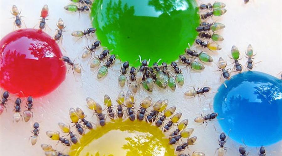 Фараонов муравей Небольшие Monomorium pharaonis встречаются по всему миру, от Европы до Австралии. Все съеденное муравьем прекрасно видно через его прозрачное брюшко.