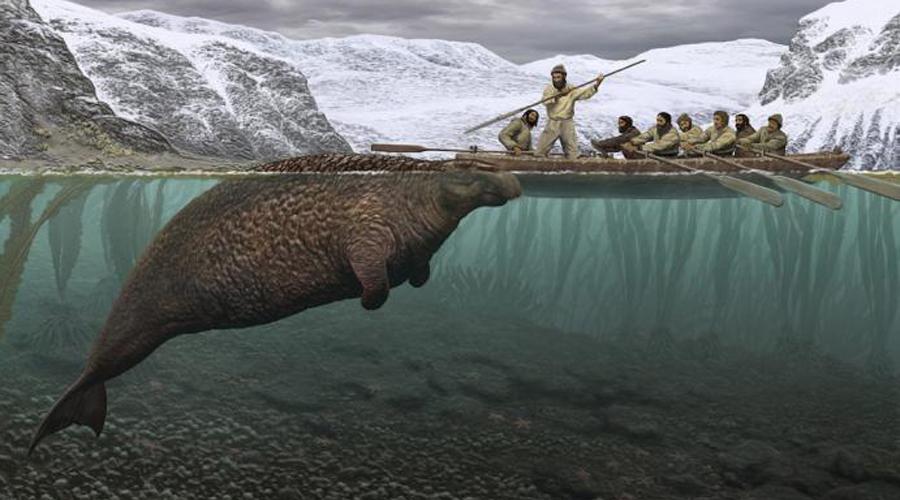 Морская корова Стеллера Экспедиция знаменитого Витуса Беринга обнаружила этот вид в 1741 году. Уже к 1752 морская корова Стеллера была полностью уничтожена человеком. По счастью, костей морского создания осталась масса и теперь у нас есть шанс загладить свою вину перед живой природой.