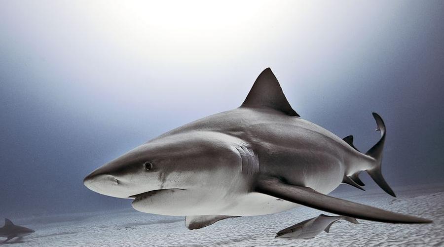 Тупорылая акула Нет, не потому, что глупая — просто форма морды у них такая. Тупорылая акула или акула-бык, водится обычно в прибрежных водах и с удовольствием пробирается в реки. Это один из самых агрессивных видов акул, которые без раздумий нападают на человека.