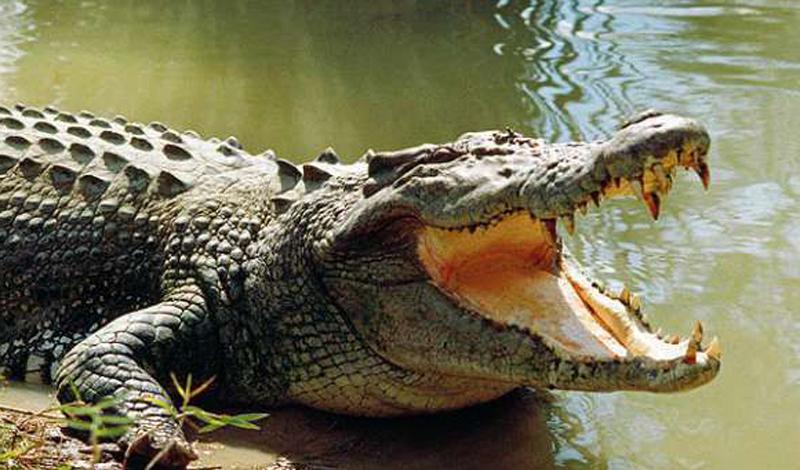 Крокодил Людей за год: 1000 Даже на благословенных пляжах солнечной Флориды мирным отдыхающим приходится опасаться за свою жизнь. Именно в этом штате крокодилы чувствуют себя особенно привольно и довольно часто нападают на человека. По всему миру же крокодилы убивают до тысячи человек за год.