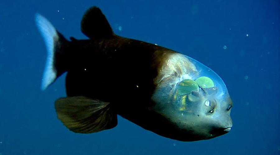 Малоротая макропинна Абсурдная внешность макропинны вызывает вопросы к Создателю. Купол на голове рыбы прозрачен, чтобы она могла видеть окружающее пространство.