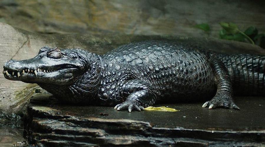 Черный кайман Самый большой хищник во всем бассейне Амазонки. Черный кайман вырастает до пяти метров длиной и может весить полтонны. Прирожденные убийцы являются так называемыми высшими хищниками, то есть способными убить и сожрать вообще любое животное в своем ареале обитания.