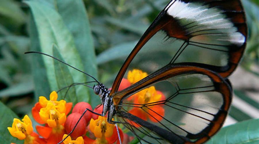 Грета ото Бабочки вида Greta oto отличаются почти прозрачными крыльями. Основной ареал обитания — Центральная и Южная Америки, но встретить их можно и гораздо дальше, вплоть до Техаса.