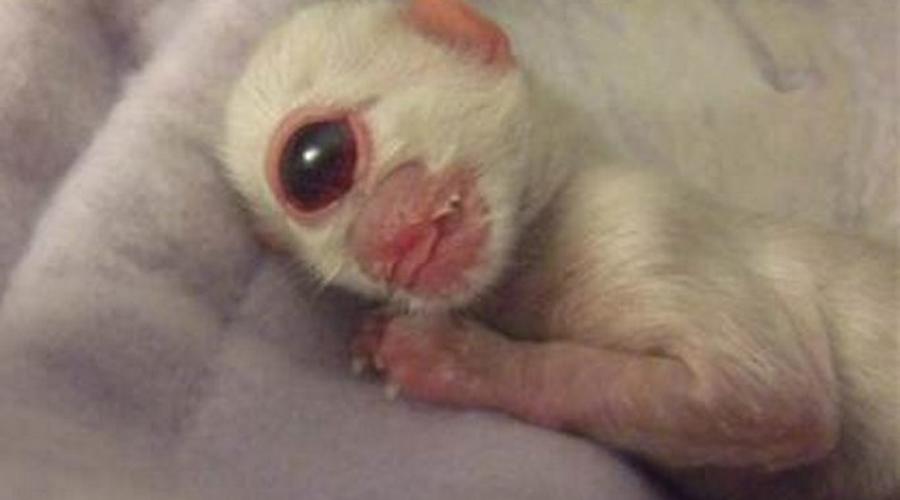 Котенок-циклоп В 2006 году в Орегоне родился очаровательный одноглазый котенок. Бедняга страдал от голопроэнцефалия и прожил всего сутки, успев собрать толпы поклонников в социальных сетях.