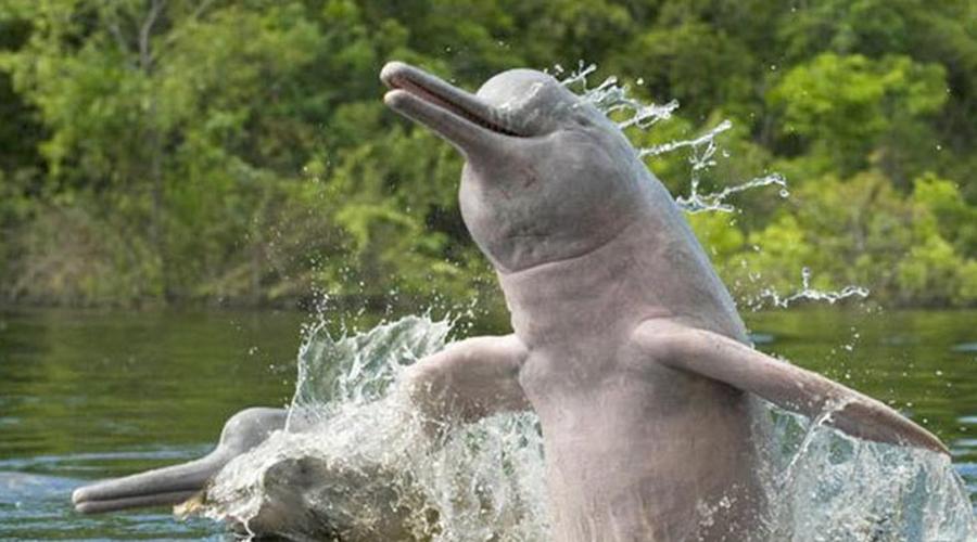 Дельфины Байджи Сами китайцы говорят, что дельфины Байджи вовсе даже не вымерли, а так и живут мирно в реках. Но мы-то видели, что на самом деле происходит в китайских реках — есть ли там вообще что-то живое? Сегодня ученые решают одновременно два вопроса: как восстановить пропавший вид и где найти ему новый ареал обитания.