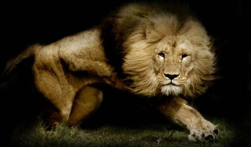Лев Людей за год: 100 Среди всех хищных кошек опаснее всего царь зверей. Поладить со львом на открытом пространстве не получится: котик нападает на человека даже когда сыт. Видимо, просто на всякий случай.